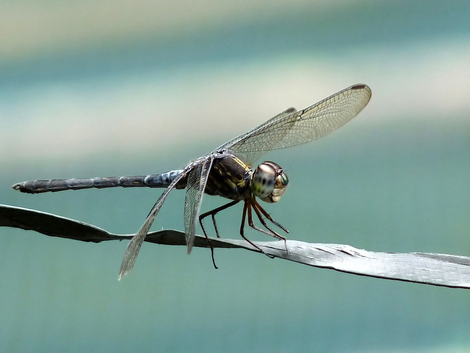 Cratilla Lineata, Emerald Banded Skimmer, Insect
