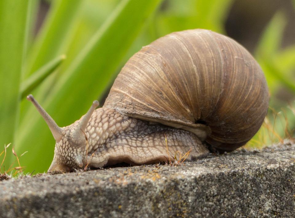 Snail, Mollusk, Crawl, Slowly, Animal, Shell