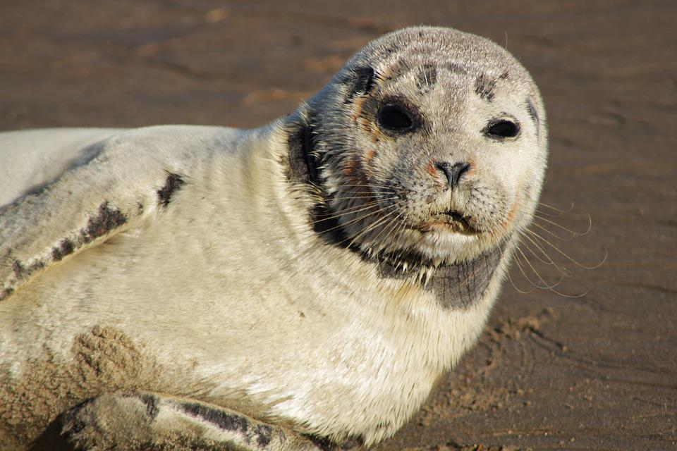 Seal, Gray Seal, Crawling, Animals, Sea Animals