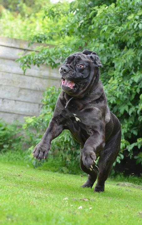 Mastino Napoletano, Funny, Crazy, Bizarre, Big Dog