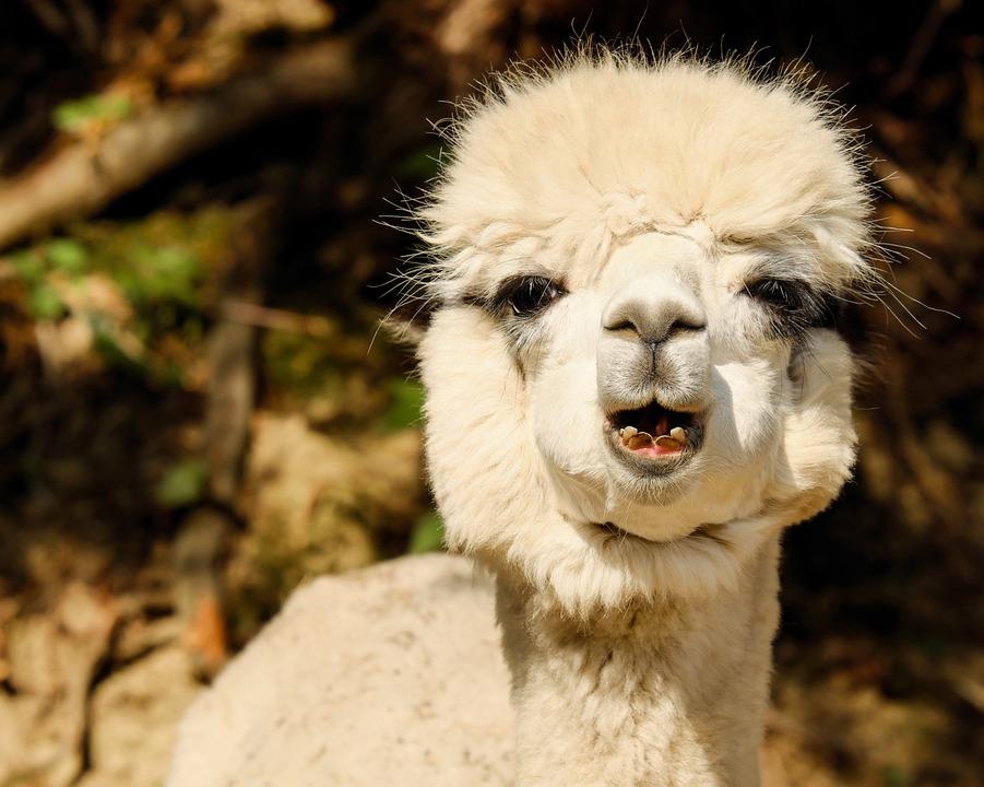 Alpaca, Animal, Creature, Fur, Cream, White, Wool