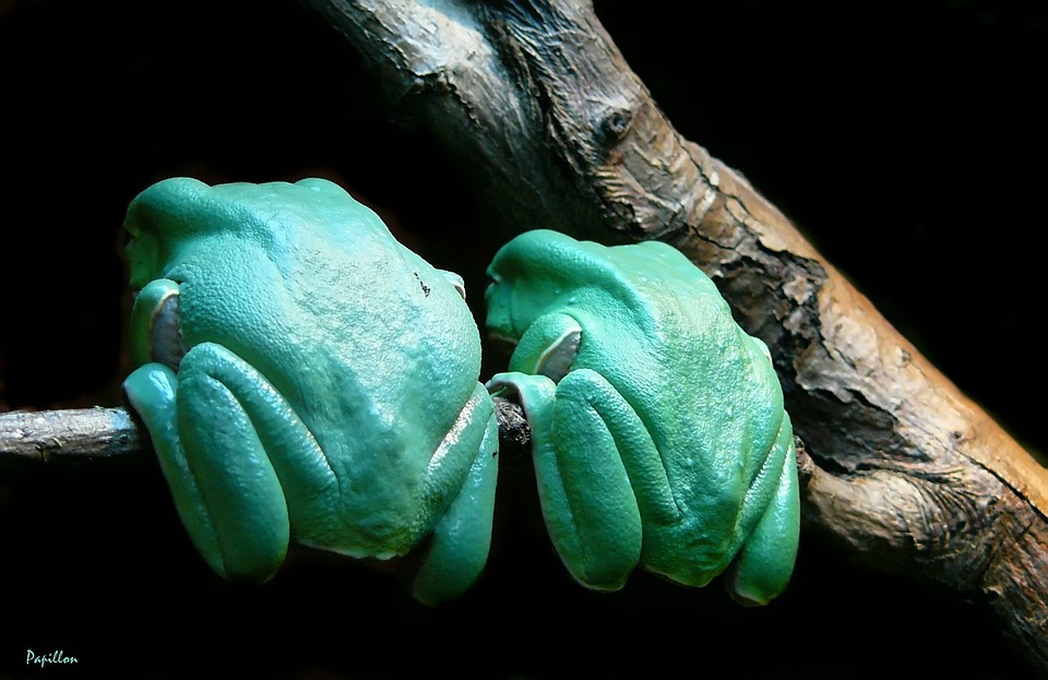 Frog, Close, Frogs, Amphibian, Green, Creature, Animal