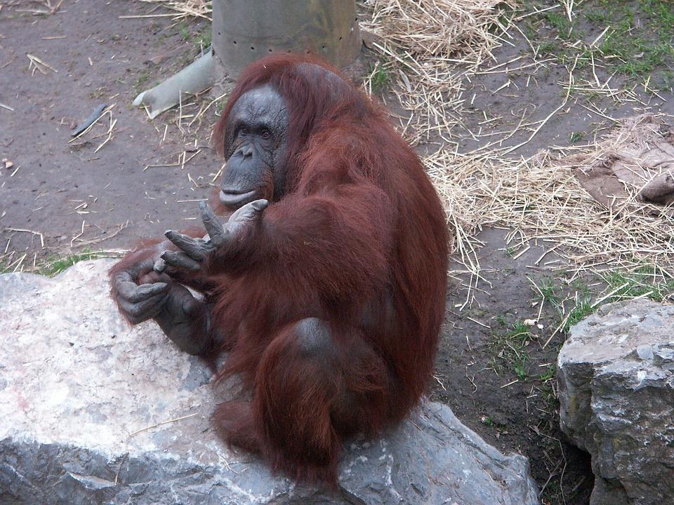 Monkey, Animal, Mammal, Orang-utan, Zoo, Creature