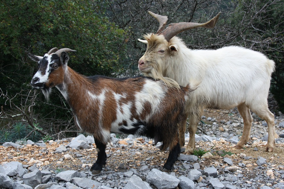 Goats, Animals, Wild, Mountain Goat, Creature, Mammal