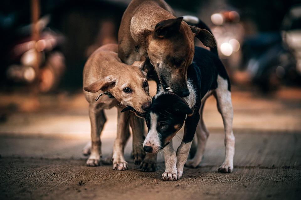 Three, Dog, Adorable, Breed, Bite, Canine, Creature