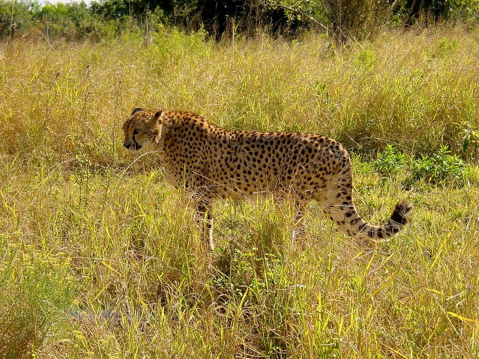 Cheetah, Cat, Predator, Big Cat, Carnivores, Creature