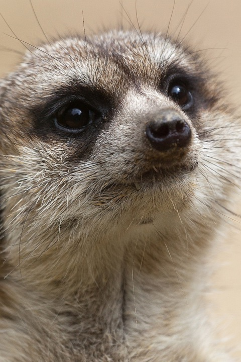 Meerkat Eyes by MicWits101 on DeviantArt
