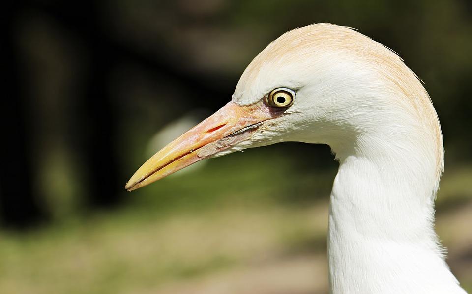 Egret, Animal, Bird, Water Bird, Creature, Nature