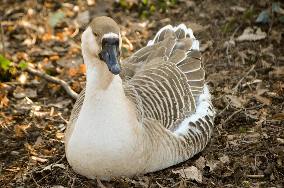 Goose, Bird, Plumage, Wing, Poultry, Creature
