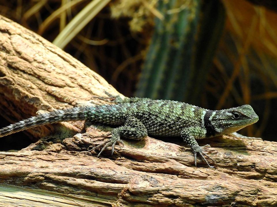 Lizard, Reptile, Animal, Creature, Nature