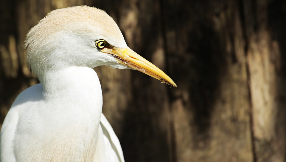 Egret, Animal, Bird, Water Bird, Creature, Nature