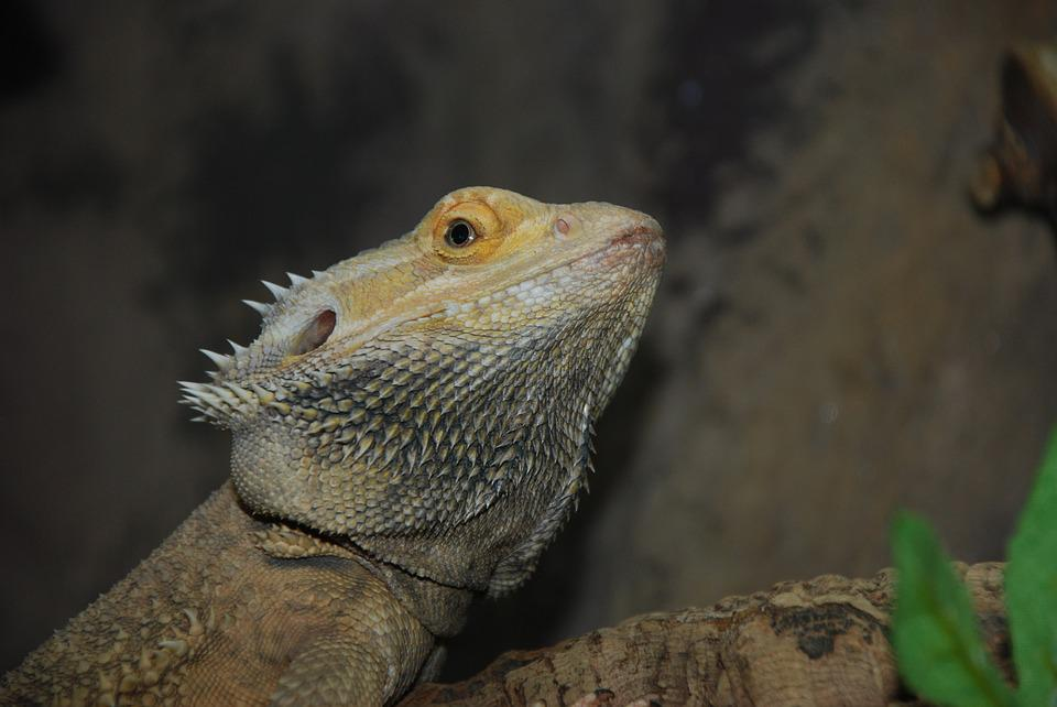 Free Photo Creature Nature Lizard Terrarium Reptile Zoo Max Pixel