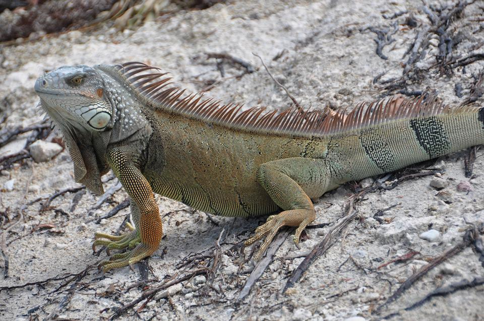 Iguana, Lizard, Animal World, Creature, Reptile, Brown