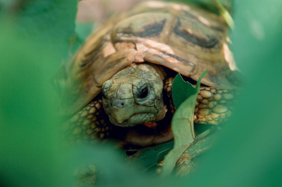 Tortoise, Reptile, Animal, Armored, Slowly, Creature