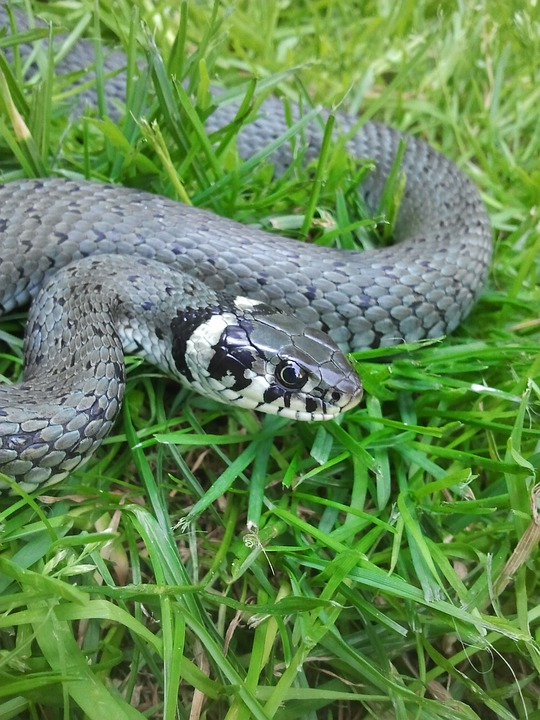 Snake, Creature, Snakehead