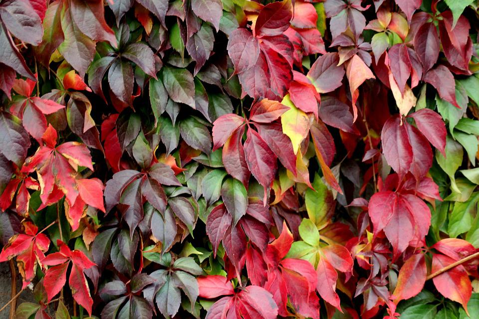 Foliage, Parthenocissus, Creeper, Decorative, Dashing