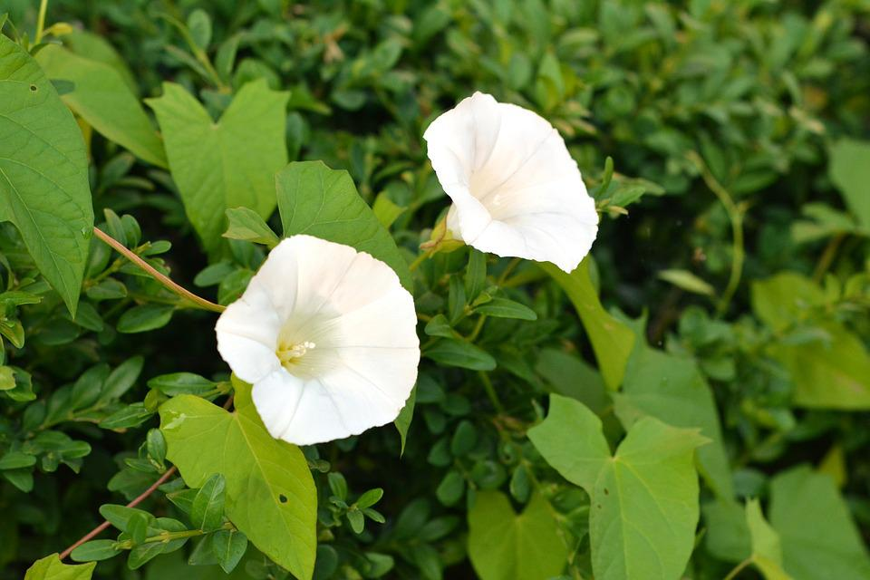 Bindweed, Yunki, White, Flower, Blooming, Creeper