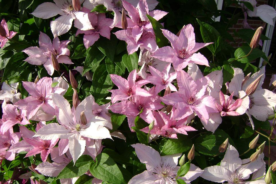 Clematis Hagley Hybrid, Clematis, Creeper, Flower