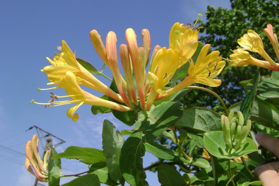 Honeysuckle Tellmanna, Creeper, Flower