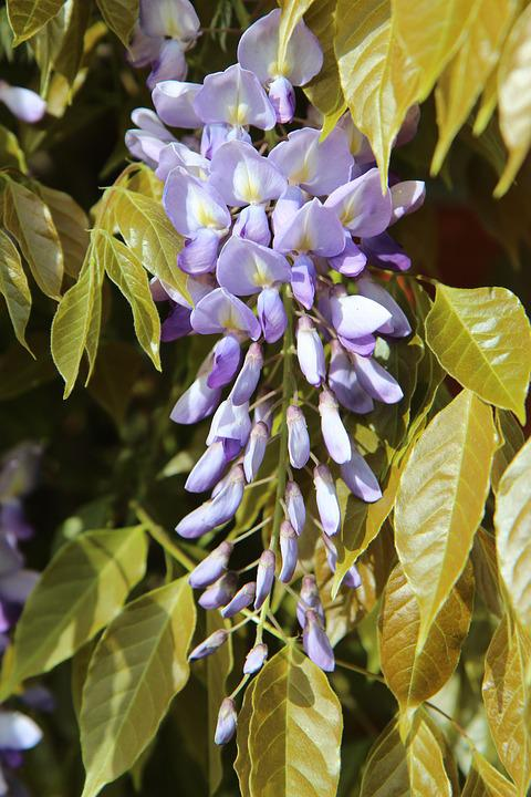 Free photo creeper spring flower vines flowering glycine max pixel glycine spring creeper flower vines flowering mightylinksfo