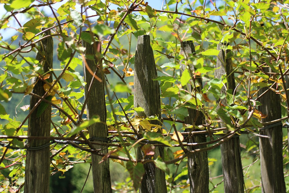Climber, Creeper, Fence, Wood Fence, Roll Fence