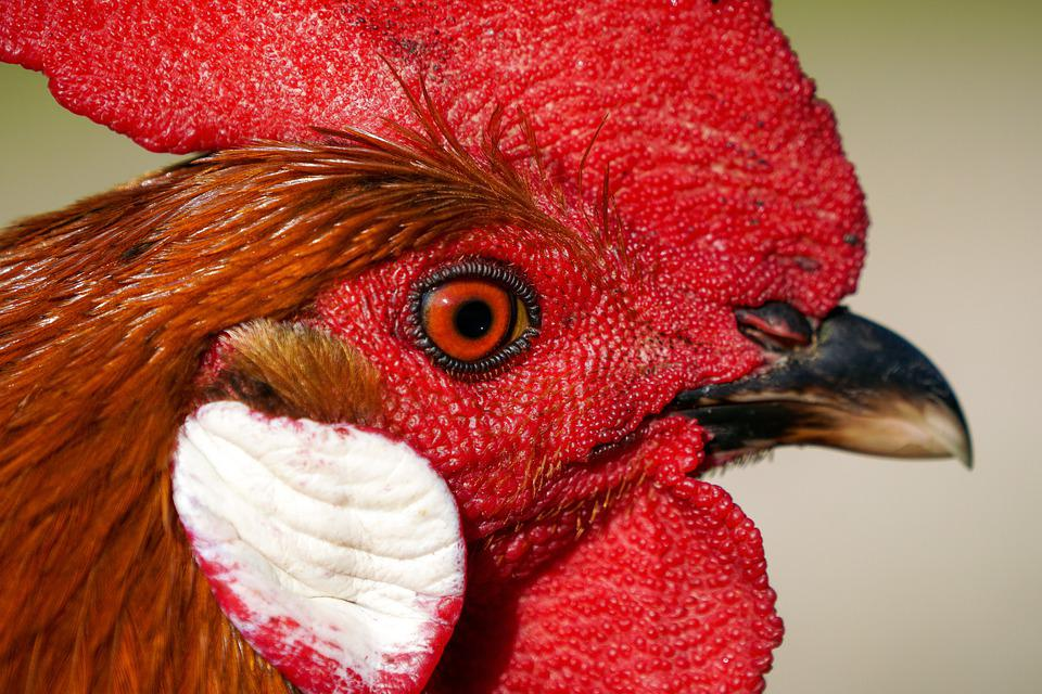 Gallo, Bird, Beak, Crest, Detail, Animal, Respect