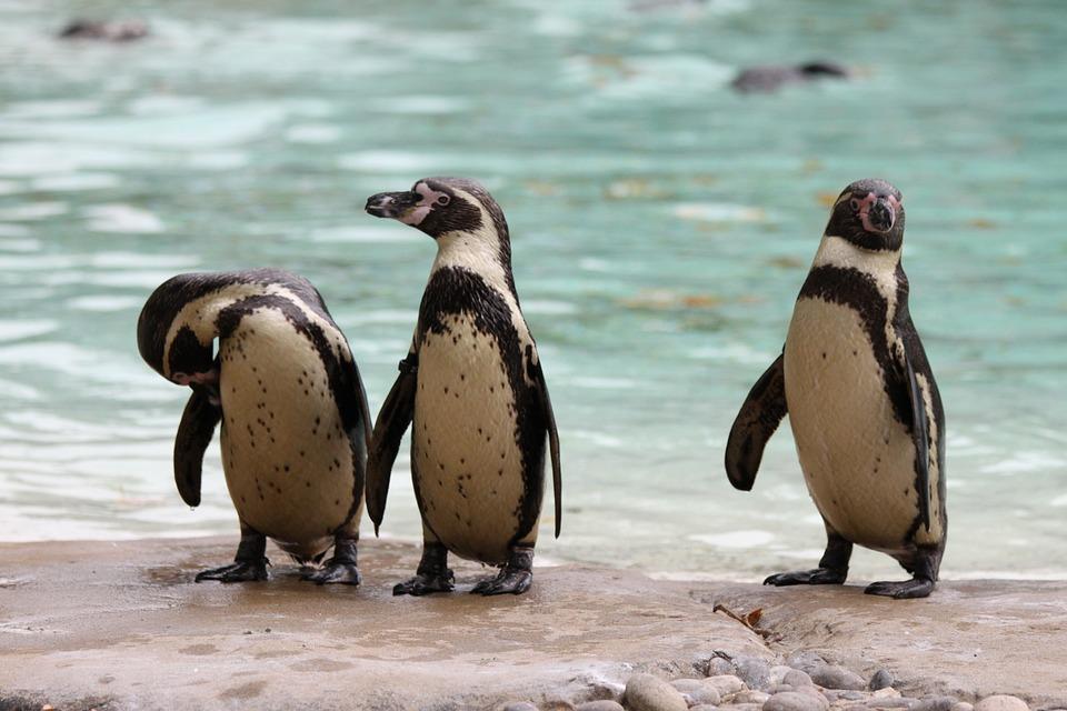Penguins, Crested-penguin, Bird