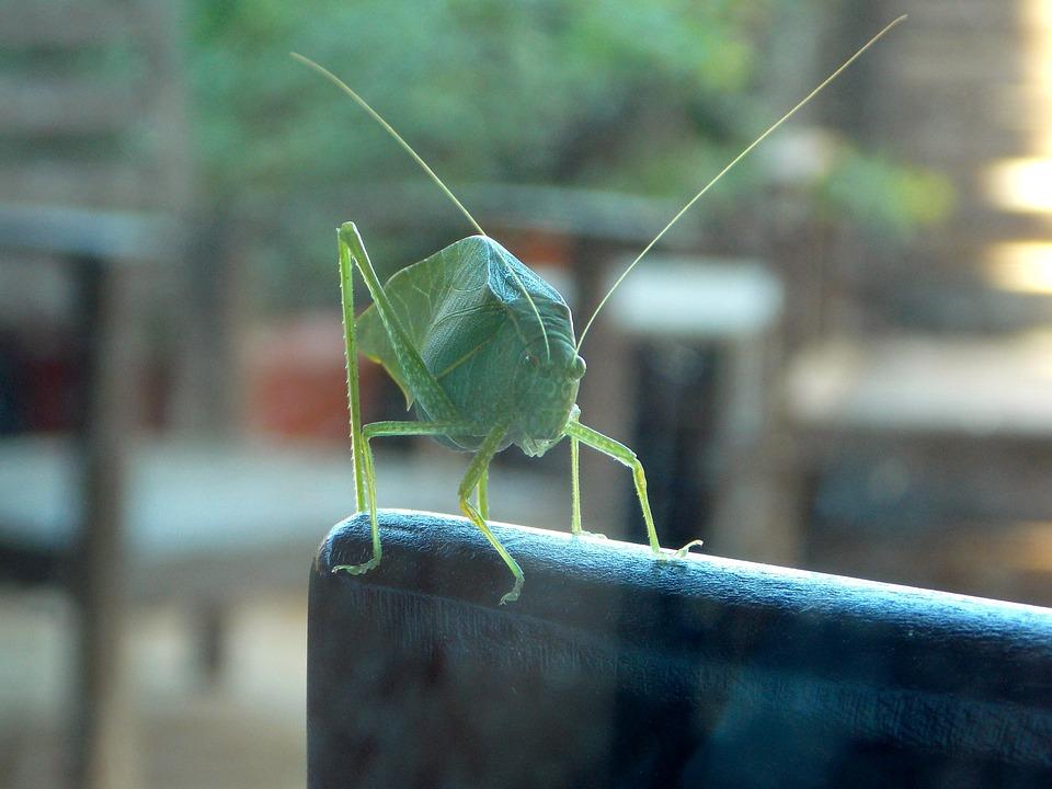 Cricket, Katydid, Grasshopper, Insect, Nature, Green