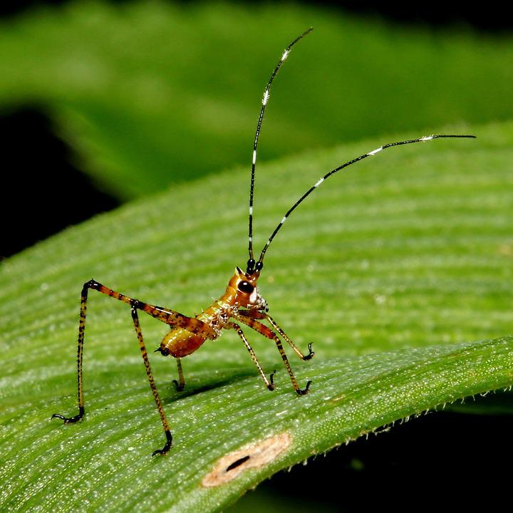Macro, Cricket, Baby, Insect, Grasshopper, Antenna