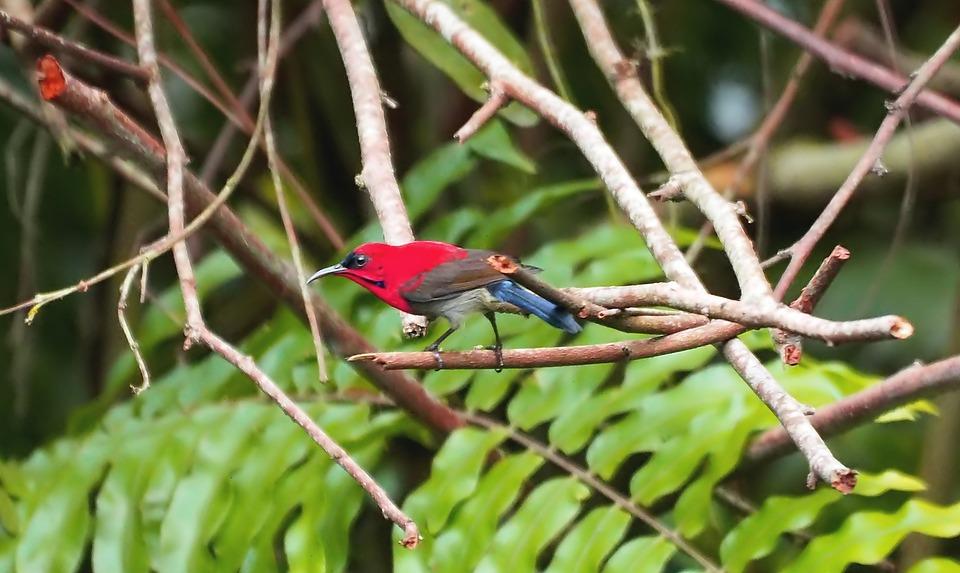 Crimson Sunbird, Wild, Bird, Small, Wildlife, Red