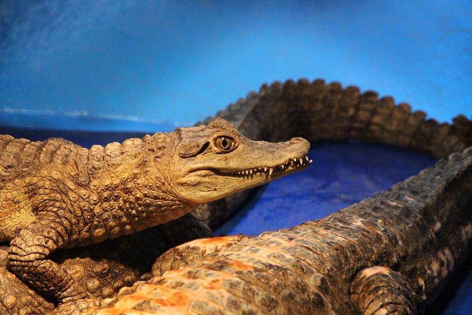 c9ea01cf49e4 Free photo Crocodile Cayman Caiman Spectacled Caiman Crocodiles ...