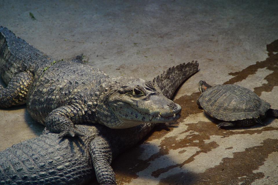 Crocodile, Alligator, Turtle, Zoo, Enclosure, Cayman