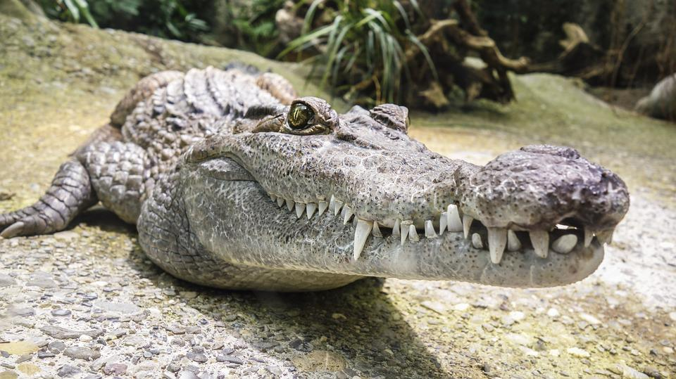Crocodile, Tooth, Reptile, Alligator, Dangerous, Animal
