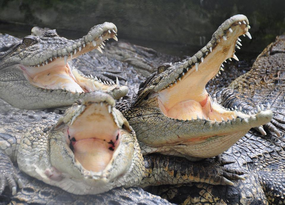 Crocodile, Animals, Crocodile Farm, Teeth