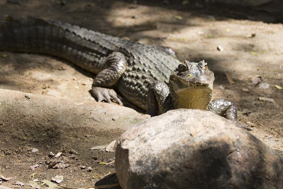 Crocodile, Alligator, Reptile, Nature, Water, Danger