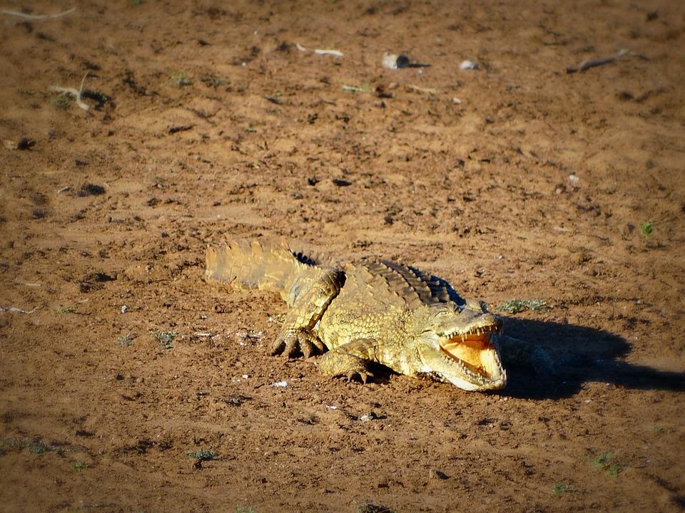 Africa, Crocodile, Wild, Animal, Reptile, Nature