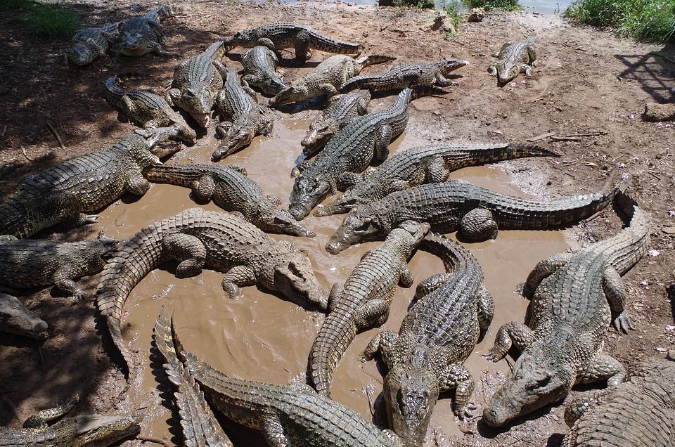Cuba, Crocodile Farm, Crocodiles