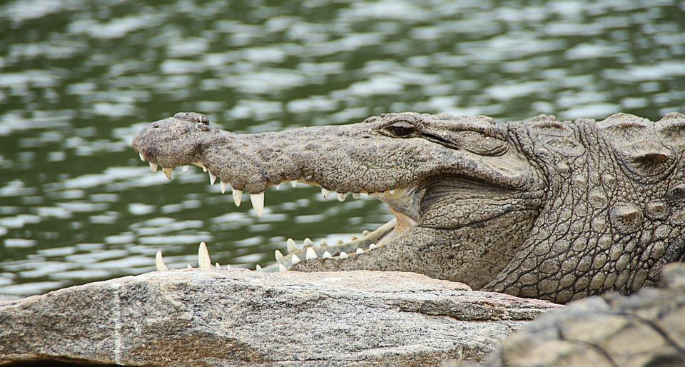 Crocodile, Snout, Crocodylus Porosus, Tartar, Carnivore