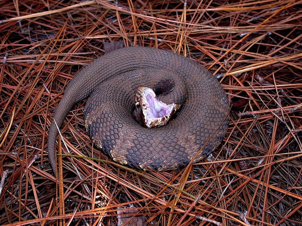 Snake, Water Moccasin, Viper, Crocs, Mouth, Aggressive