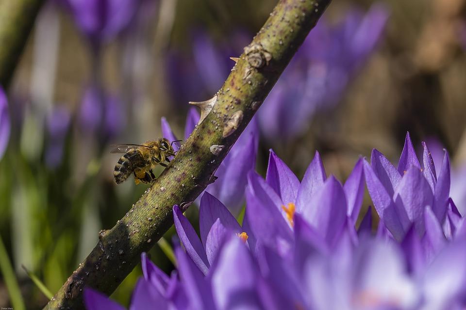 Crocus, Bee, Insect, Spring Awakening, Nature, Plant