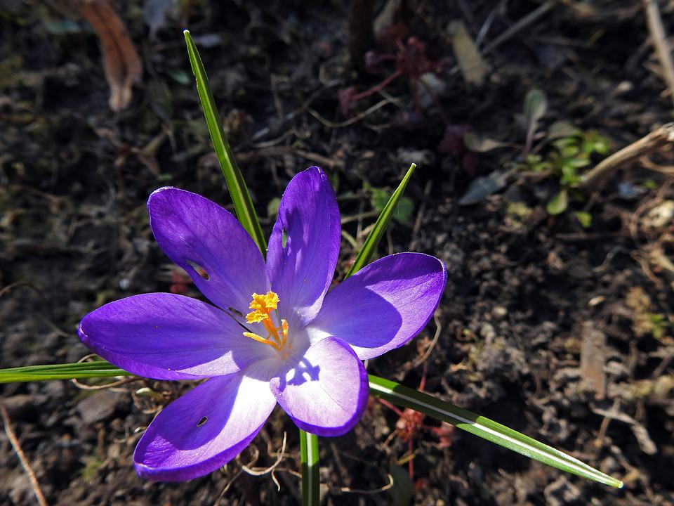 Crocus, Spring Flower, Purple, Early Bloomer, Blossom