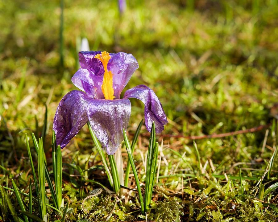 Crocus, Flower, Flowers, Spring, Cold, Petal, Violet