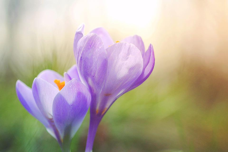 Crocus, Violet, Pink, Flowers, Early Bloomer