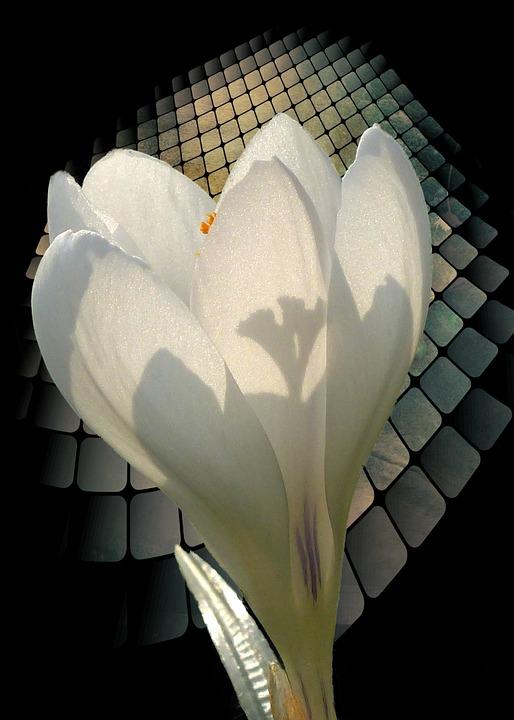 White, Crocus, Spring, Flower, Plant, Background