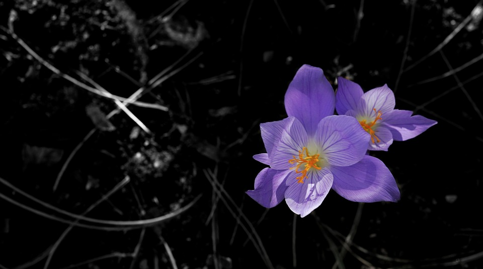 Crocus, Iris, Family, Perennial, Winter, Nature, Flora