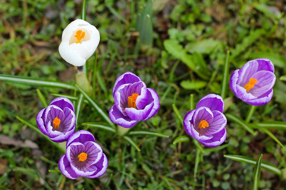 Nature, Flower, Plant, Crocus, Spring