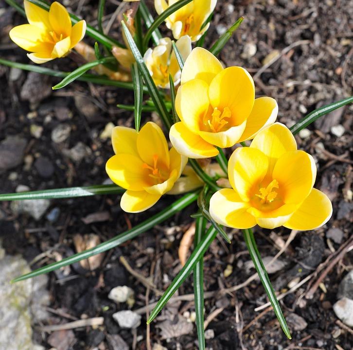Crocus, Flower, Plant, Yellow, Flowers, Spring
