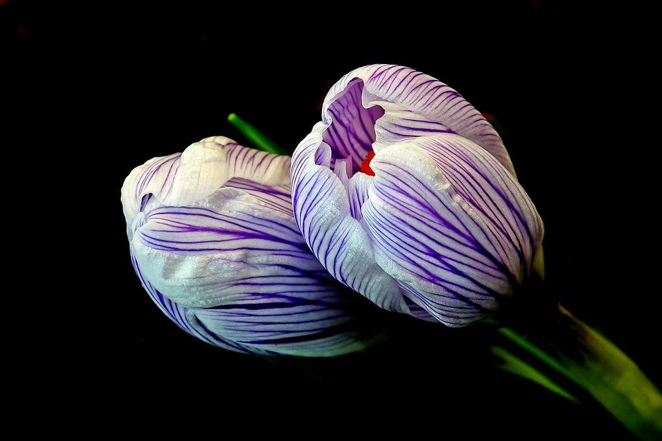 Crocus, Flowers, Spring, Colorful, Plants, Garden