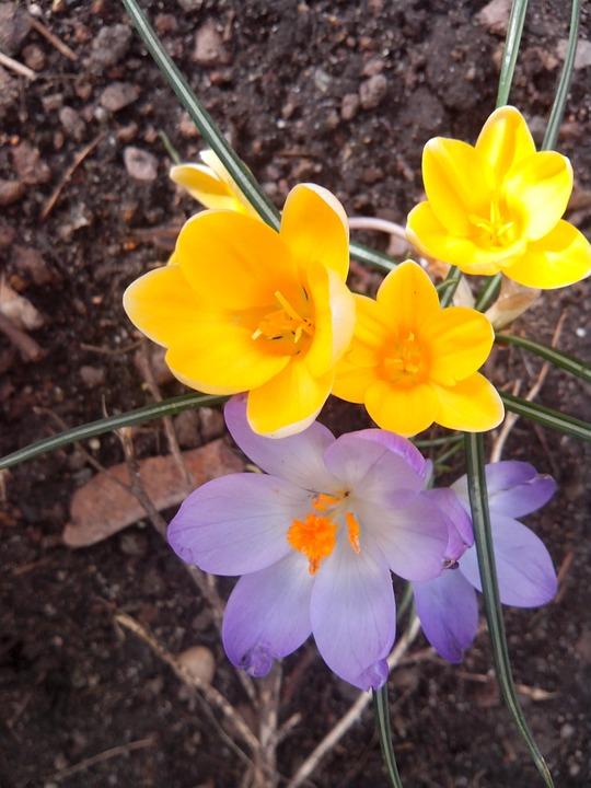 Crocus, Spring, Purple, Blossom, Bloom, Spring Flower