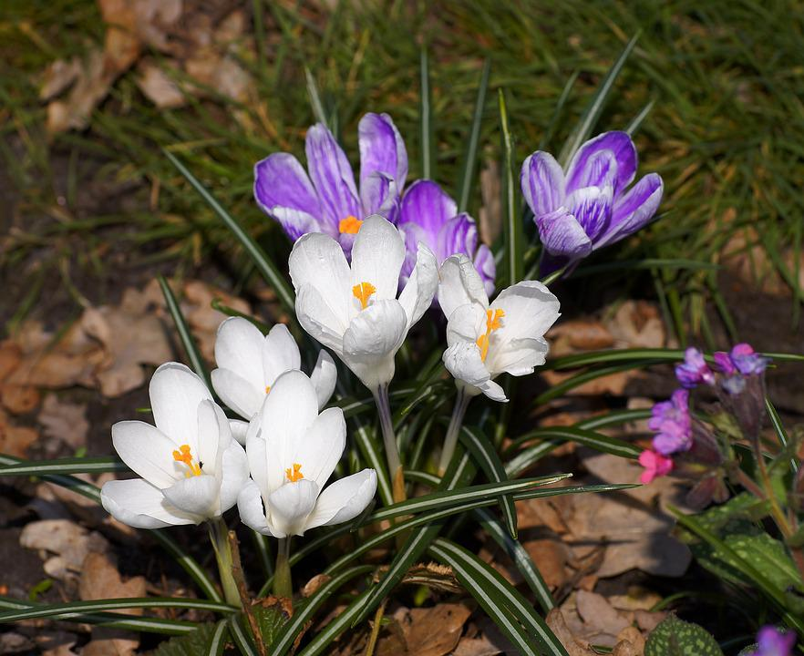 Free photo crocus purple flowers nature white spring plant max pixel crocus flowers spring plant purple white nature mightylinksfo